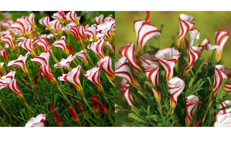 Candy cane oxalis aka sorrell