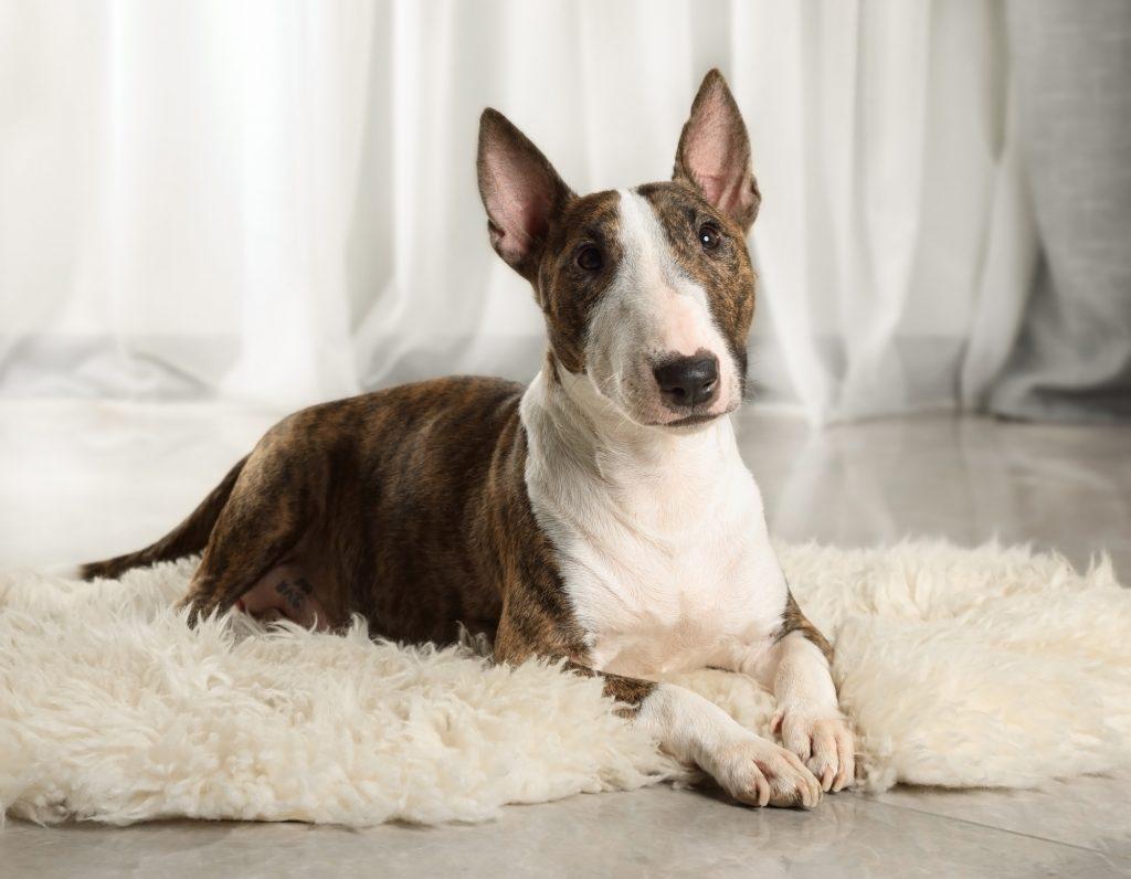 A Miniature Bull Terrier dog lying on a fur rug
